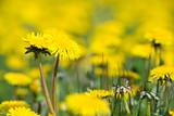 Fototapeta Dandelions blooming in the summer meadow