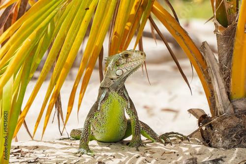fototapeta na ścianę piękny przykład iguana stoi rozglądając się w liści palmowych