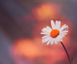 summer daisy flower at abstract background