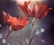 fresh day-lily summer garden flower at sunset