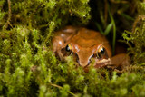 Frog sitting in ambush on green moss. It´s a spring frog (Rana dalmatina). poster