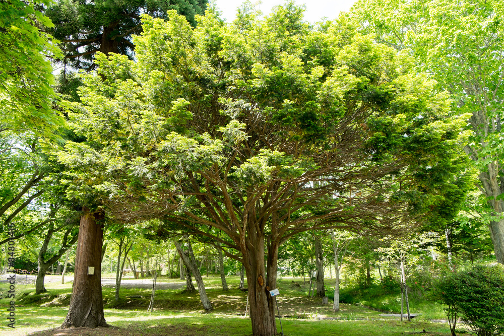 イチイの木