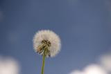 Fototapeta Dandelion, Taraxacum seeds