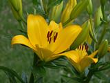 Fotoroleta Fiore giallo di giglio
