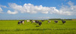 Herd of cows grazing in a green meadow in spring