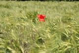 Fototapeta Klatschmohn auf einem Getreidefeld
