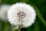 Fototapeta Dandelion / close up of a Dandelion in a meadow