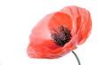 Poppy flower close-up