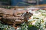 Fotoroleta Iguana