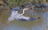 Grey heron (ardea cinerea) - The fight