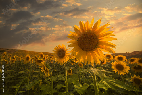 Sunflowers on sunset Poster