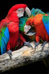 Zamknij się pary pięknych z misia ptaki peaning i