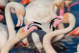Greater Flamingo (Phoenicopterus roseus) - Couple portrait