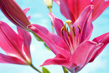 Fototapeta Pink Lilium Flowers on a Blue Pond Background
