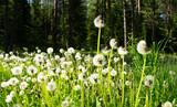 Fototapeta Glade of dandelions