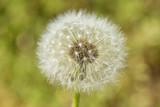 Fototapeta dandelion seeds detail