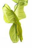 Phelsuma madagascariensis - gecko isolated on white poster
