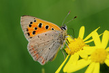 Fototapeta Butterfly - Small Copper (Lycaena phlaeas) on the meadow