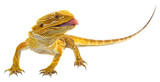 Bearded dragon - Pogona vitticeps on a white background