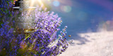 art Summer or spring beautiful garden with lavender flowers