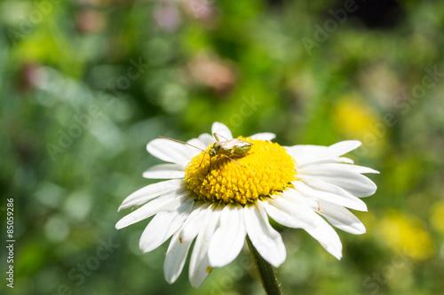 Margerite mit Insekt