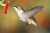 Fototapeta Ruby-throated Hummingbird (archilochus colubris)