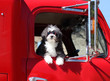 A small black and white dog in a big red truck.