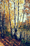 Fototapeta Birch grove on the lakeside of forest lake with Instagram style
