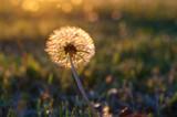 Fototapeta Dandelion flower head on sunset
