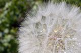 Fototapeta Dandelion with water drops closeup