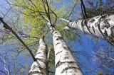 Fototapeta beautiful spring birch tree trunks on sky background