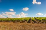 Fototapeta rural landscape, plantation of vineyards