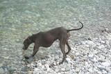 Cane piccolo levriero italiano al mare