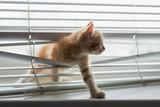 Ginger kitten tangled in window blinds - 85149250