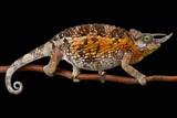 Jackson's chameleon (Trioceros jacksonii jacksonii) female