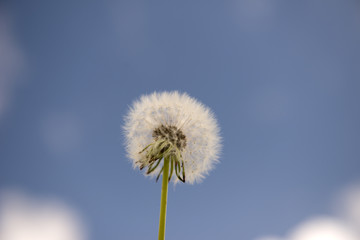 Dandelion, taraxacum's seeds