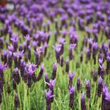Fotoroleta Lavender