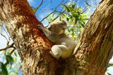 Wild Koalas along Great Ocean Road, Victoria, Australia - Fine Art prints