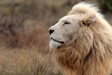 A huge male white lion lying down in this portrait. South Africa. - 85255891
