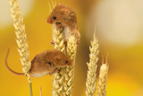 Two little harvest mice climbing on some wheat