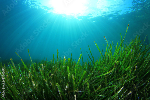 Poster Underwater background of green sea grass and blue water