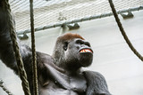 Portrait of an enraged gorilla in a zoo. Anger and rage concept. poster