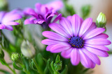 Fototapety beautiful purple daisies