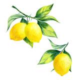 watercolor lemon branch