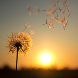 Fototapety Dandelion against the backdrop of the setting sun. Sunset in summer.