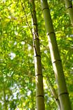 Fototapeta Skupienie na dwóch bambusach