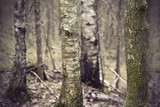 Fototapeta Ancient forest