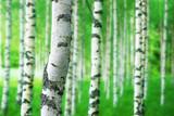 trunk of birch tree