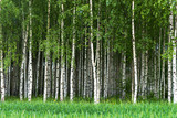 Grove of birch trees