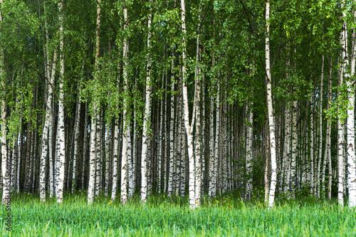 Plexiglas Berkenbos Grove of birch trees